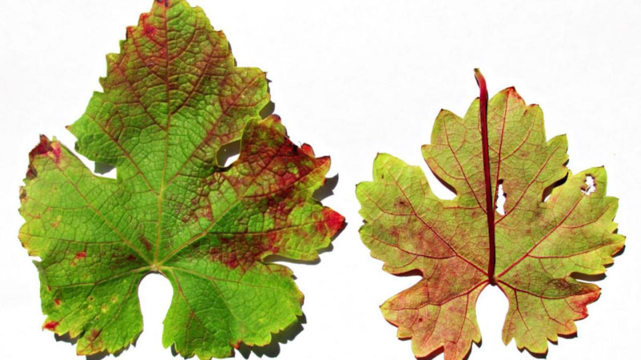 photo of leaves with red blotch disease