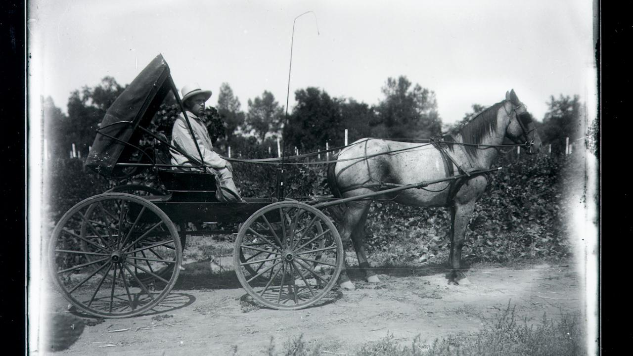 horse-drawn carriage in front of vineyard
