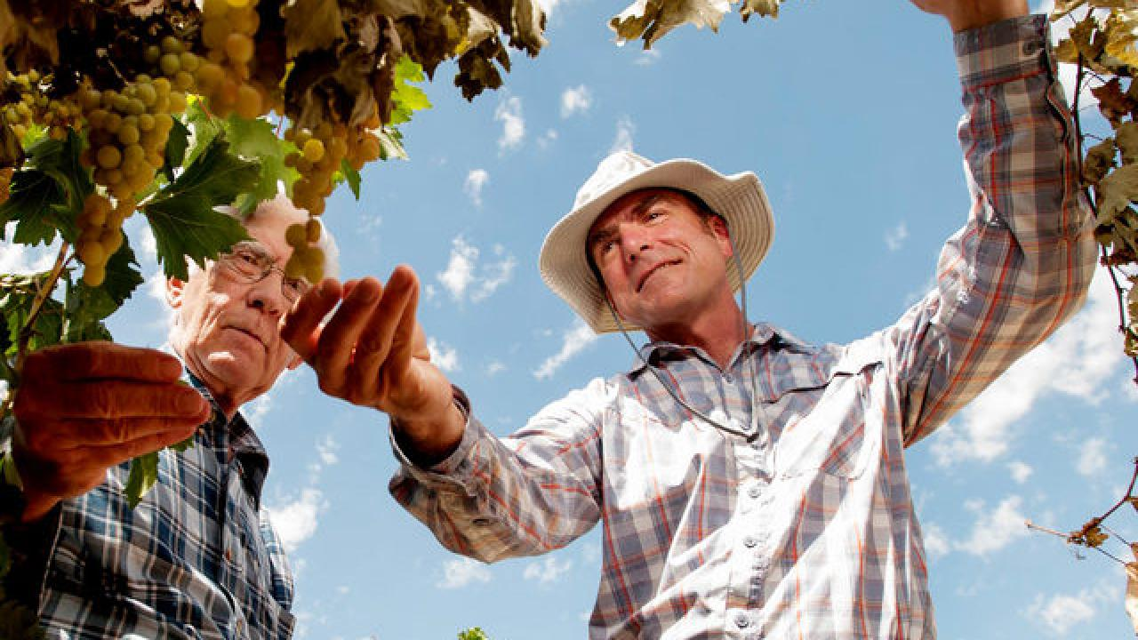 Cooperative Extension specialist Matthew Fidelibus (right) talks with grower Ron Brase about his grapes in Fresno, California. Brase has 40 acres of Selma Pete grapes that will become raisins. Fidelibus is researching vines that have grafted root stock.