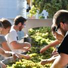 students processing grapes